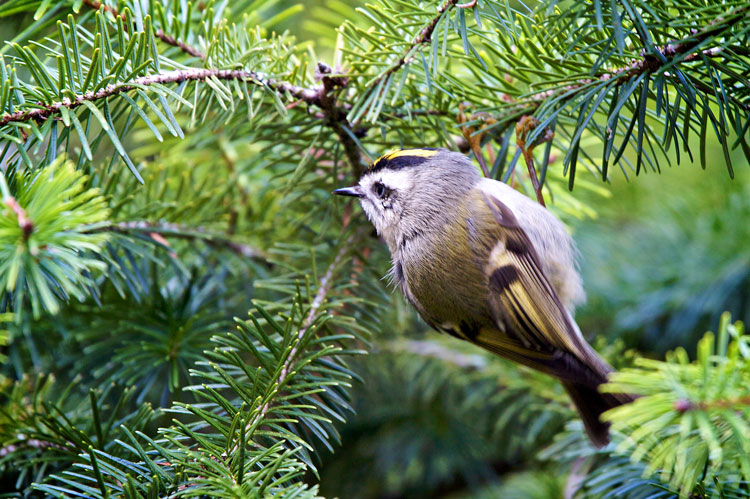 Golden-crowned-Kinglet. Photo by Stephen Cunliffe.