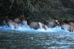 Elk crossing the Duckabush by Artemis Celt