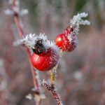Rose hips in frost
