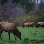 Roosevelt Elk in the Duckabush River Valley. Photo by Caitlin Battersby.