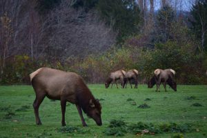 Roosevelt Elk in the Duckabush River Valley. Photo by Caitlin Battersby.