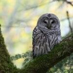 Barred Owl. Photo by Joe Baier