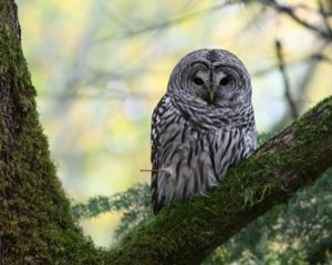 Barred Owl. Photo by Joe Baier