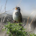 White-crowned Sparrow by Joe Baier