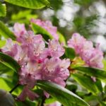 Photo of a Rhododendron Macrophyllum in the Quimper Wildlife Corridor by Wendy Feltham
