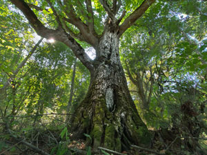 Big Leaf Maple on Chimacum Ridge by Robert Tognoli