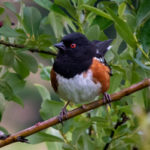 Spotted Towhee by Kerry Tremain.