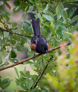 Spotted Towhee by Kerry Tremain