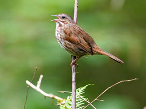 Song Sparrow by Tim Lawson