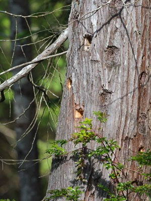 Recent Woodpecker activity in Chimacum Ridge forest. Photo by Tim Lawson.