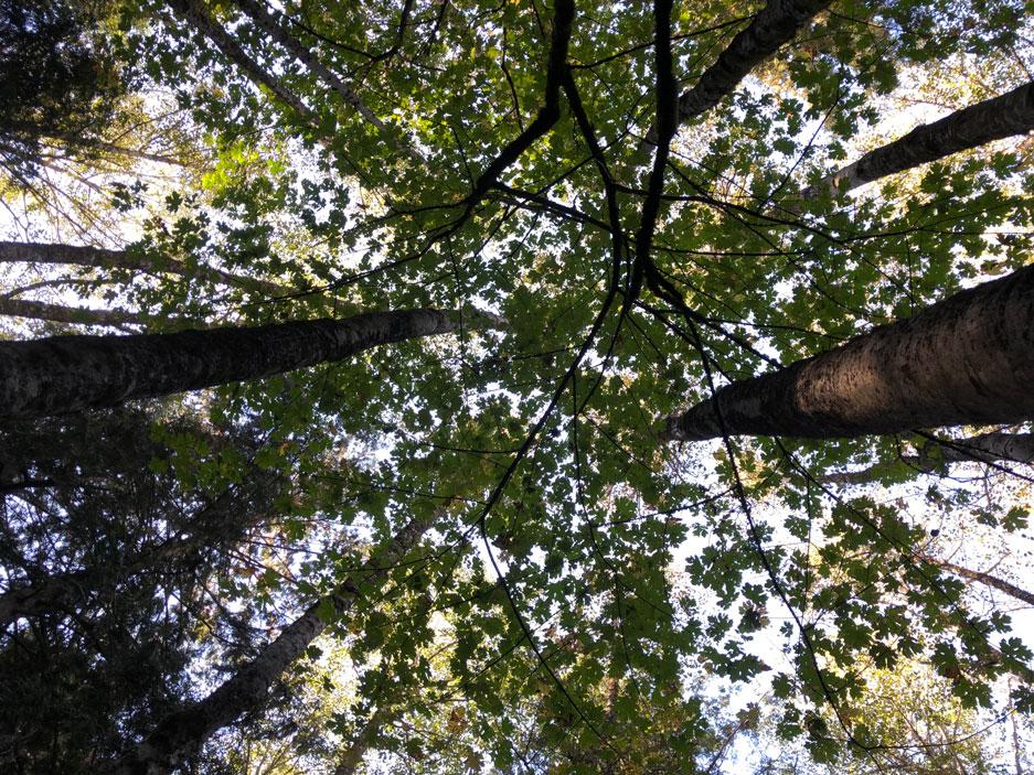 Photo looking upward into the tree canopy.