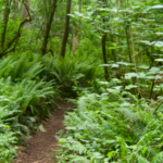 Photo of lush forest trail in Quimper West Preserve.. Photo by Wendy Feltham.