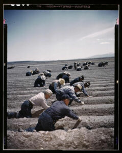 Vintage photograph of 20 or so men weeding a tilled field.