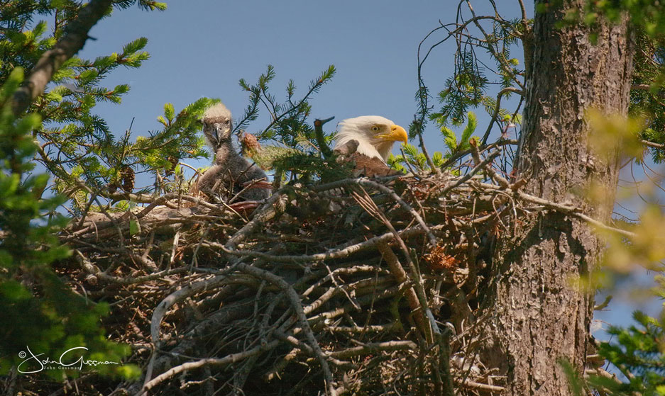 Photo of Bald Eagle eaglet and mother in a nest by John Gussman.