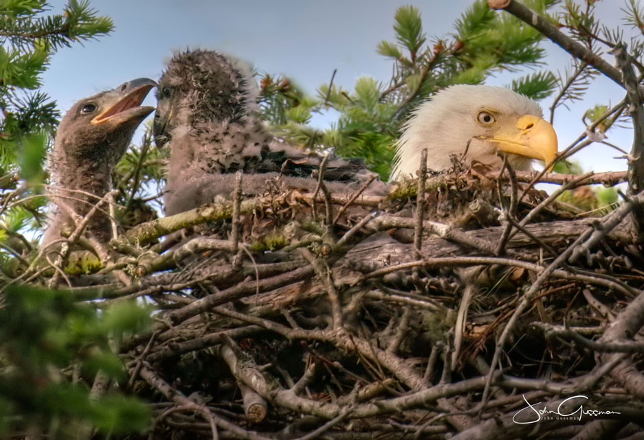Photo of Bald Eagle and two eaglets in nest by John Gussman.