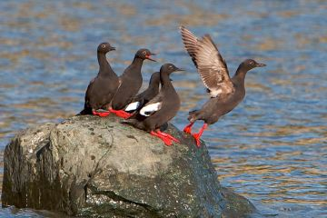 Pigeon Guillemots. Photo by Stephen Cunliffe