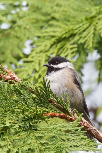 Black Capped Chicadee. Photo by Stephen Cunliffe.
