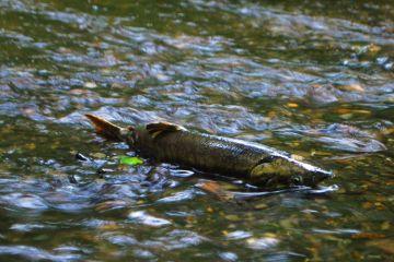 salmon at Illahee